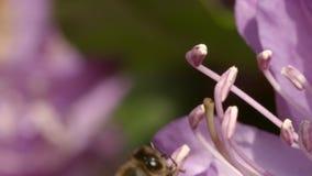 Zakończenie strzelający po pszczoła gdy ono zbiera nektar od różowego kwiatu zbiory wideo