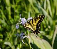 Zakończenie Swallowtail motyl na Skalistej góry irysie zdjęcie stock
