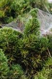 Zakończenie szczegół sosnowi liście wtyka z pająk siecią w Chiang Mai, Tajlandia obraz royalty free