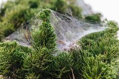 Zakończenie szczegół sosnowi liście wtyka z pająk siecią w Chiang Mai, Tajlandia zdjęcia royalty free