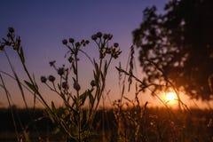 Zakończenie trawy fiołkowy purpurowy kwiat z zmierzchem Obrazy Stock