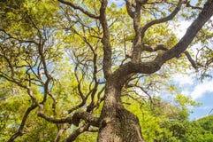 Zakończenie tropikalny, żywy dębowy drzewo, Fotografia Royalty Free
