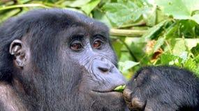 Zakończenie twarz liście je goryla z zamyślenia przyglądającym brązem ono przygląda się Zdjęcia Stock