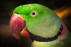 Papuga. Obraz Stock