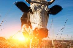 Zakończenie twarz rogata czarny i biały krowa plenerowa Krowa gapi się przy kamerą i Zdjęcia Royalty Free