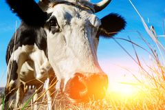 Zakończenie twarz rogata czarny i biały krowa plenerowa Krowa gapi się przy kamerą i obwąchuje mnie i Zdjęcie Stock
