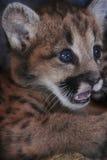 Zakończenie twarzy Halnego lwa lisiątko Zdjęcia Royalty Free