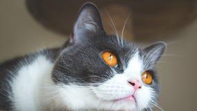 Zakończenie up śliczna kota ` s twarz Szkoccy fałdów ucho rozwijają się złotych oczy i ciało kolor szarego i białego czuciowy osa Obrazy Royalty Free