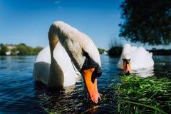 Zakończenie up białej graci łabędzia para rozciąga jego głowę w kierunku kamery i szyję Alster jezioro na słonecznym dniu wewnątr Zdjęcie Royalty Free