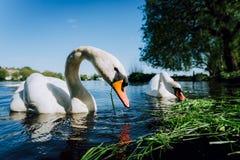 Zakończenie up białej graci łabędzia para rozciąga jego głowę w kierunku kamery i szyję Alster jezioro na słonecznym dniu wewnątr zdjęcia royalty free