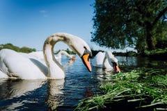 Zakończenie up białej graci łabędzia para rozciąga jego głowę w kierunku kamery i szyję Alster jezioro na słonecznym dniu wewnątr obraz royalty free