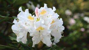 Zakończenie up biały rododendronowy kwiatu drżenie na wiatrze Duży biały kwiat na lewej stronie zbiory