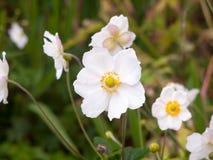 Zakończenie up białych anglików różany dorośnięcie w ogrodowych płatkach Obraz Royalty Free