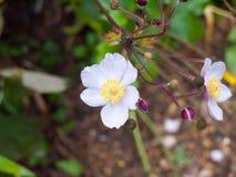 Zakończenie up białych anglików różany dorośnięcie w ogrodowych płatkach Zdjęcie Royalty Free