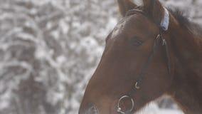 Zakończenie up brown koń wyścigowy po tym jak biegający oddycha w zimie i otwartym usta zdjęcie wideo