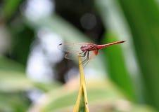 Zakończenie up Czerwona Damsel komarnica na krótkim szczupłym trzonie Zdjęcia Stock