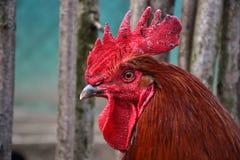 Zakończenie up czerwona kogut głowa na tradycyjnym wiejskim farmyard Fotografia Royalty Free