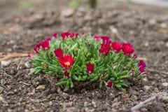 Zakończenie up czerwony kwiat lodowej rośliny klejnot Pustynny Garnet wewnątrz Obrazy Royalty Free