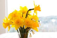 Zakończenie up daffodils w wazie z tłem bokeh śniegu krajobraz przez wielkiego okno Obrazy Stock