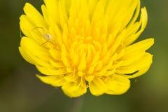 Zakończenie up dandelion kwiat i mały pająk na nim odgórny widok p Zdjęcia Royalty Free