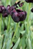 Zakończenie up głęboki - purpurowi tulipany kwitną w ogródzie Fotografia Stock