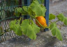 Zakończenie up jarzynowa bania z zielonymi liśćmi Zdjęcie Royalty Free