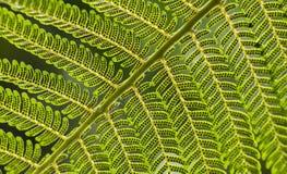 Zakończenie up Jaskrawy - zielony Paprociowy liść z zarodnikami na Diagonalnym plombowaniu z ramą zdjęcia royalty free