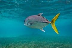 Zakończenie up końska oko dźwigarki ryba, Caranx latus, zdjęcia stock