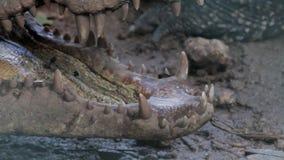 Zakończenie up kubański krokodyl zdjęcie wideo