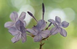 Zakończenie up lili filigranowi dzicy kwiaty z zamazanym zielonym tłem zdjęcia royalty free