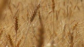 Zakończenie up na pszenicznym badylu z stojak ostrością zdjęcie wideo