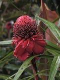 Zakończenie up okwitnięcie czerwonej pochodni kwiatu Etlingera Imbirowy elatior, Costa Rica Obrazy Stock