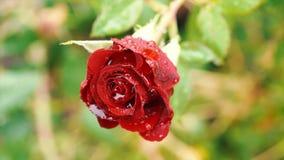 Zakończenie up piękna czerwieni róża na zieleni gałąź z wodnymi kroplami Rewolucjonistki róża z pączkiem na ogródzie Artystyczny  zdjęcie wideo