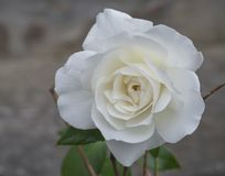 Zakończenie up pojedynczy sepiowi biel róży kwiatu płatki, bokeh tło obraz royalty free