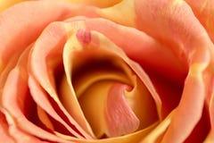 Zakończenie up pomarańczowy róży miękkiej części styl z dewdrops use dla miękkiego tła, valentine ` s lub ślubnej karty, Fotografia Royalty Free