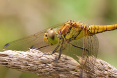 Zakończenie up Pospolity Wężowy dragonfly na nasieniodajnej głowie Fotografia Royalty Free