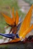 Strelitzia Reginae lub ptak raj roślina Obraz Stock