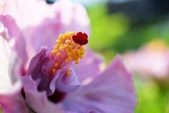 Zakończenie up różowy poślubnika kwiat na zielonym natury tle Zdjęcia Royalty Free