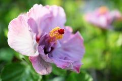 Zakończenie up różowy poślubnika kwiat na zielonym natury tle Fotografia Royalty Free