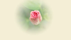Zakończenie up Różowy poślubnika kwiat w miękkim kolorze Zdjęcie Stock