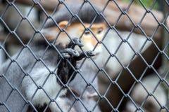 zakończenie up ręka czerwona langur małpa w klatce obraz stock