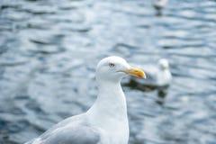 Zakończenie up seagull twarz nad oceanu pięknym światłem zdjęcie royalty free
