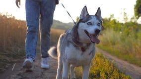 Zakończenie up siberian husky pies ciągnie smycz podczas odprowadzenia wzdłuż drogowego pobliskiego pszenicznego pola Cieki młode zbiory
