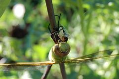zakończenie up smok komarnica cieszy się swój posiłek Fotografia Royalty Free