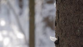 Zakończenie up sosny barkentyna w zima lesie zbiory
