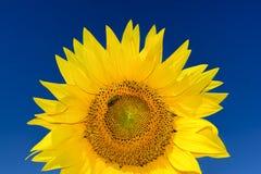 Zakończenie up strzelał powstająca słonecznik głowa z pszczołą fotografia royalty free