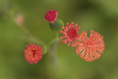 Zakończenie up szczegół mali czerwień kwiaty i ich pączki od above na zielonym tle obraz stock