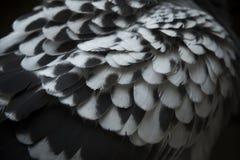 Zakończenie up szczegół punktu gołębia skrzydła piórko z lov światła fotografią Zdjęcie Stock