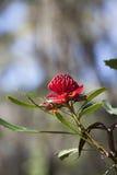 Waratah kwiat (Telopea) Zdjęcia Stock