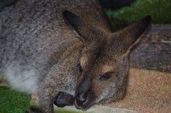 Zakończenie w górę ślicznego wallaby odpoczywa w dół i kłaść na ziemi obraz stock